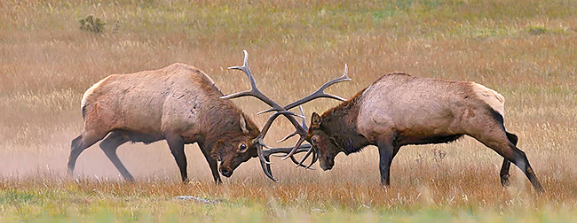 Pre mature elk fighting
