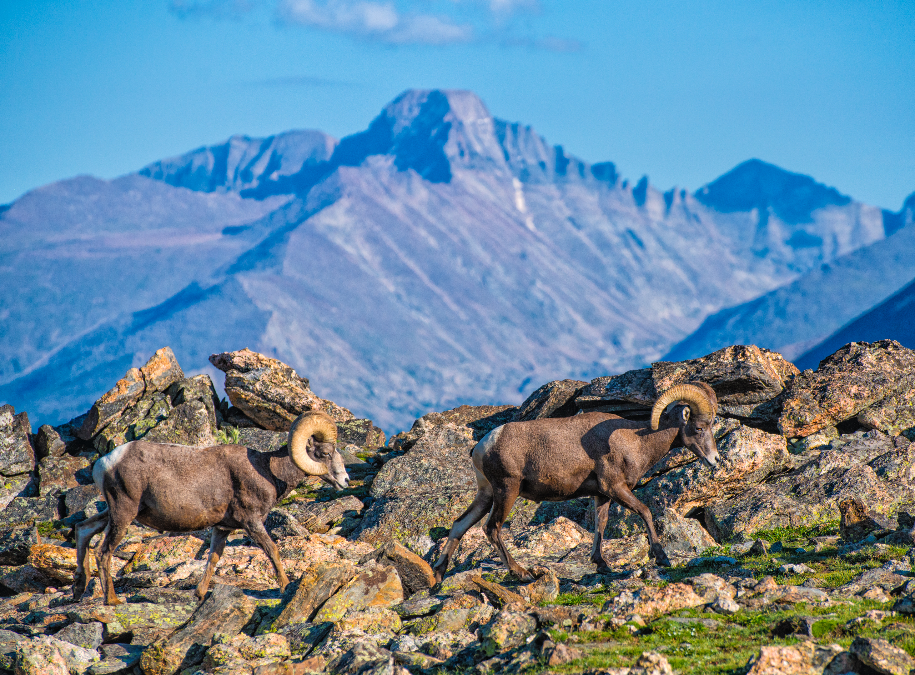 Big Horn Sheep Wildlife Tour